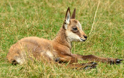 Baby chamois. A very young chamois fawn young in the grass Stock Photos