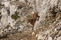 Baby chamois. / mountain goat on a rock Royalty Free Stock Photos