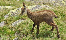 Baby chamois on the grass Stock Image