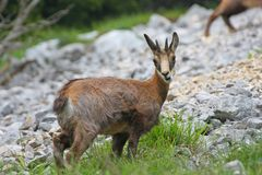 Baby chamois with horns on his head, surrounded by mountains Stock Photos