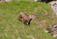 Baby chamois in nature Royalty Free Stock Image