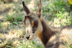 Baby Chamois. A baby chamois in the Parc Animalier Des, Pyrenees in France Stock Photos