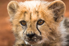Baby Cheetah Royalty Free Stock Photo
