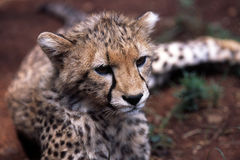 Baby cheetah Royalty Free Stock Photography