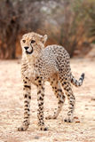 Baby Cheetah (Acinonyx jubatus) stock photo