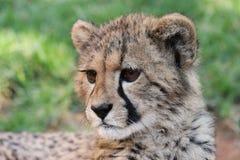 Baby Cheetah Cat Royalty Free Stock Photo