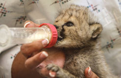 Baby cheetah Royalty Free Stock Photography