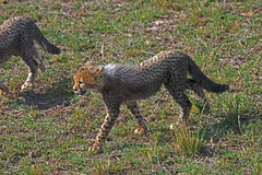 Baby Cheetah. A baby cheetah follows his protective mother Stock Photos