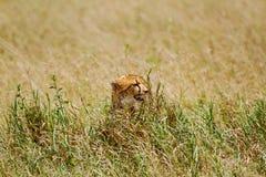 Baby cheetah. Among grass in Africa Stock Photo