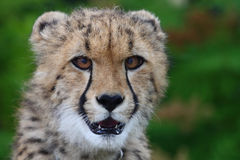 Baby cheetah head Royalty Free Stock Photos