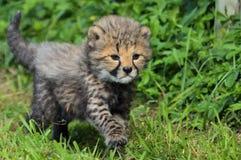 Baby Cheetah Royalty Free Stock Image