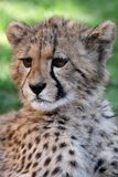 Baby Cheetah Portrait. Portrait of a cute baby cheetah with large brown eyes Stock Photography
