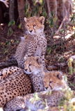 Baby cheetahs, Serengeti Plain, Tanzania Stock Image