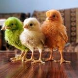 Baby chichens stock afbeelding