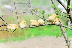 Baby chichens royalty-vrije stock fotografie