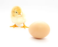 A baby chick Stock Photo