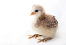 Baby Chick. A week old Americauna baby chick stock photo
