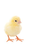 Baby Chick. A newborn baby chick on white background Royalty Free Stock Images