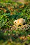 Baby chick. Golden baby chick on a lawn among plants Stock Images