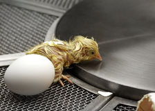 Baby Chick Royalty Free Stock Photos