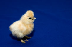 Baby chick Stock Images