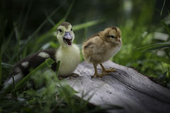Baby chick and baby duck standing in the grass Stock Photo