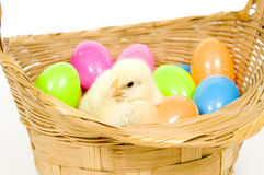 Baby chick in a basket with plastic Easter eggs Royalty Free Stock Images