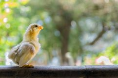 Baby chick. The baby chick with beautiful natural backdrop stock images