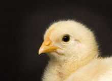 Baby chick on black background Stock Photo