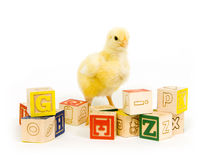 Baby chick and blocks. A baby chick stands among an assortment of toy blocks Stock Images