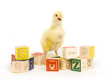 Baby chick and blocks. A baby chick stands among an assortment of toy blocks Royalty Free Stock Image