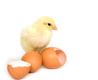 Baby chick and broken brown eggs Royalty Free Stock Photo