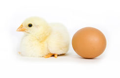 Baby chick and brown egg. A baby chick sits next to a brown egg on white background Stock Photo
