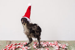 Baby chick in christmas hat, looking stressed Stock Images