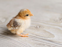 Baby Chick Stock Photo