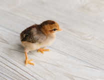 Baby Chick Royalty Free Stock Image