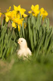 Baby chick and daffodils Stock Images