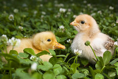 Baby Chick and duckling in clover stock photos