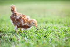 Baby Chick Eating Worm stock image