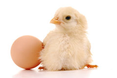 A baby chick and an egg Stock Photo