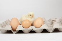 Baby chick Royalty Free Stock Photo