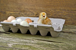 Baby chick in egg carton Royalty Free Stock Photo