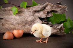 Baby chick with egg shell Royalty Free Stock Photography