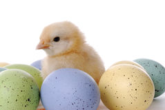 Baby Chick and Eggs Stock Photography