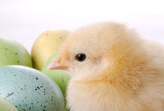 Baby Chick and Eggs royalty free stock image