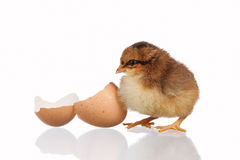 Baby chick with eggshell Royalty Free Stock Image