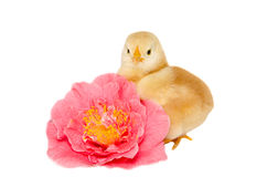 Baby chick on flower stock photos