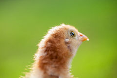Baby Chick in the Grass Royalty Free Stock Images