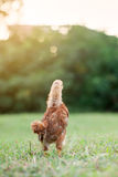 Baby Chick in the Grass Stock Photo