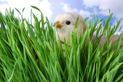 Baby Chick Hiding In Grass Royalty Free Stock Photography
